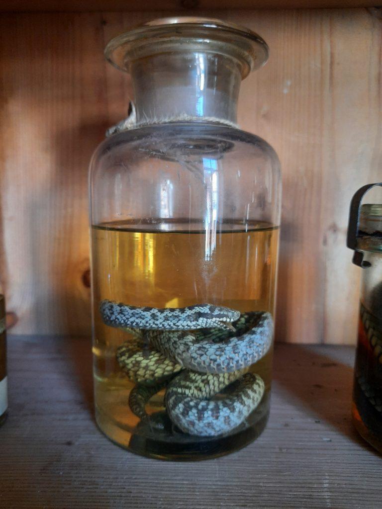 Bild von einer eingelegten Schlange